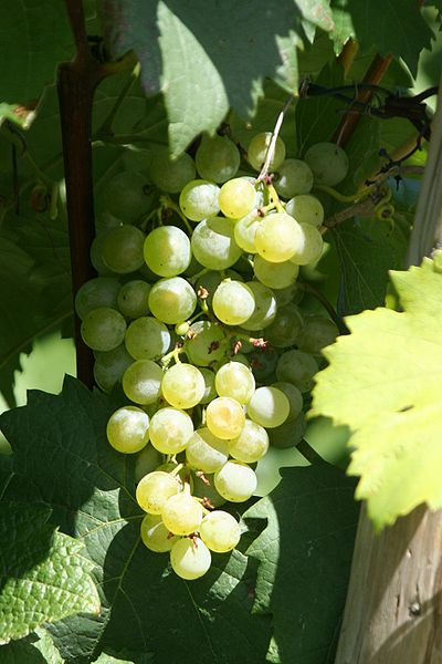 Grüner Veltliner Grape in What VINO The Beginner Wine Blog