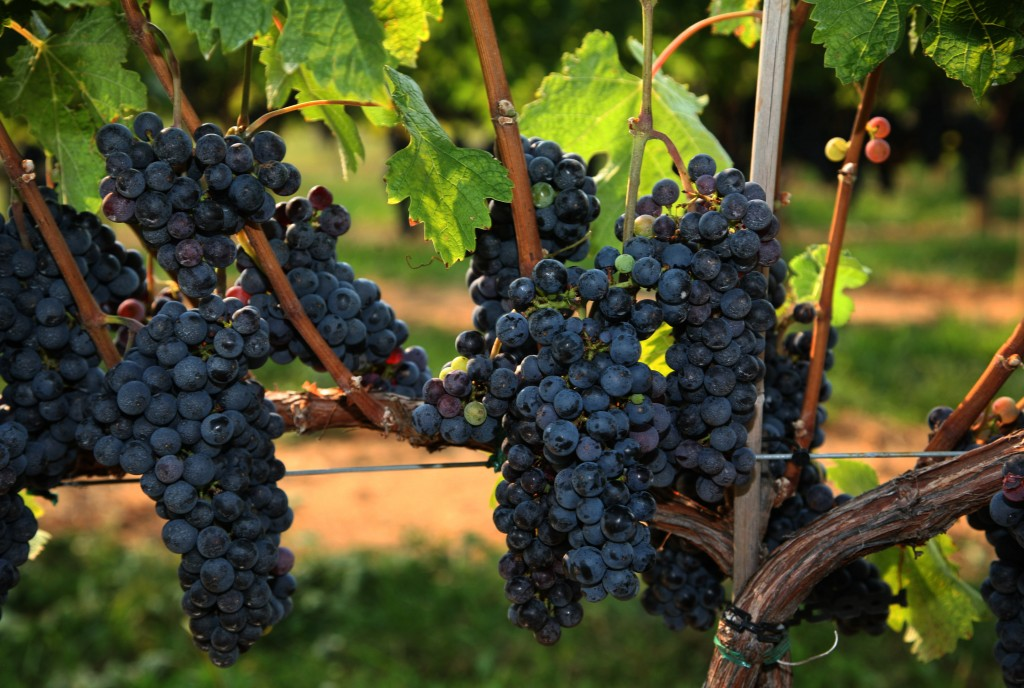 Cabernet Franc in What VINO